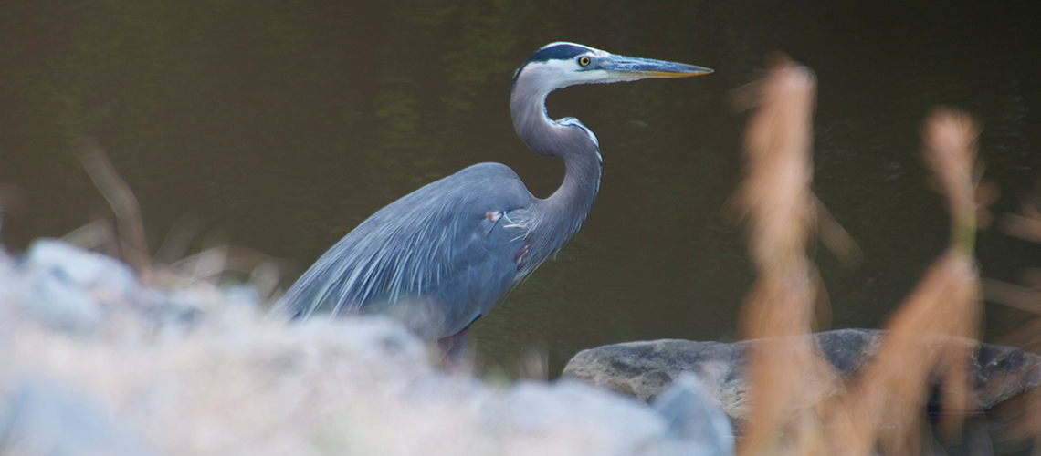 A Great Blue Heron stands guard over one of the many waterways around Fort Polk